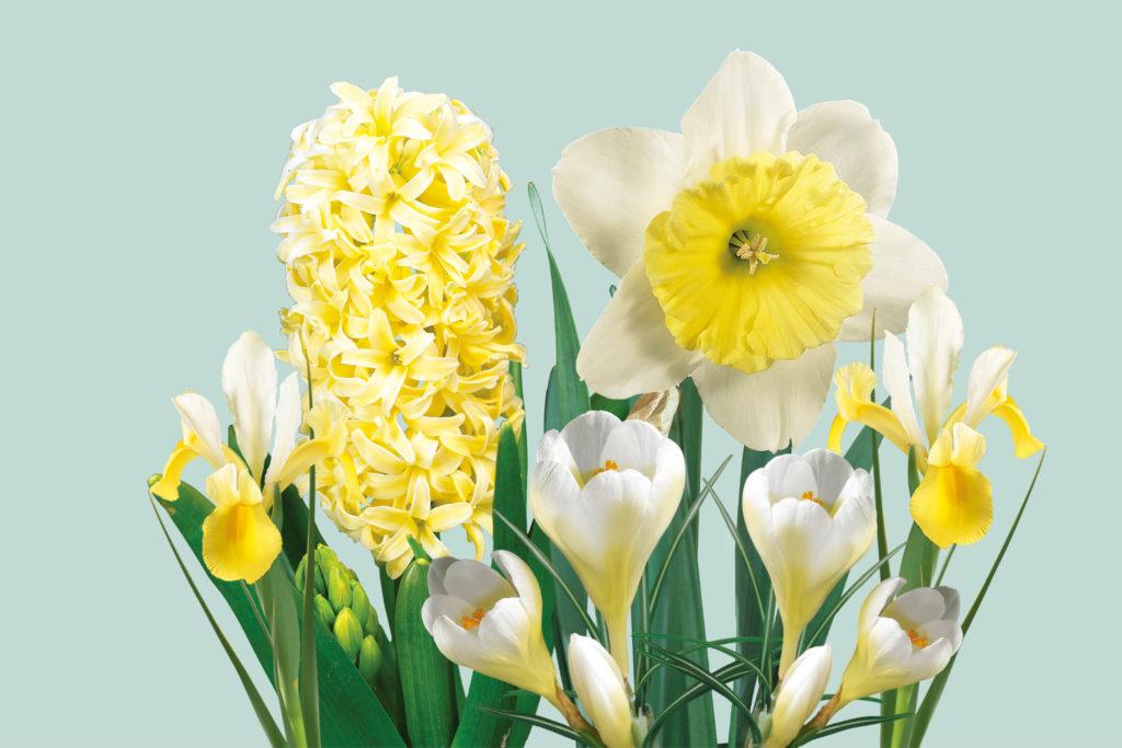 voorjaarsbloeiers hyacint, narcis, krokus