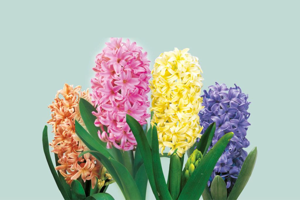 hyacinten in een groep meerjarige bollen