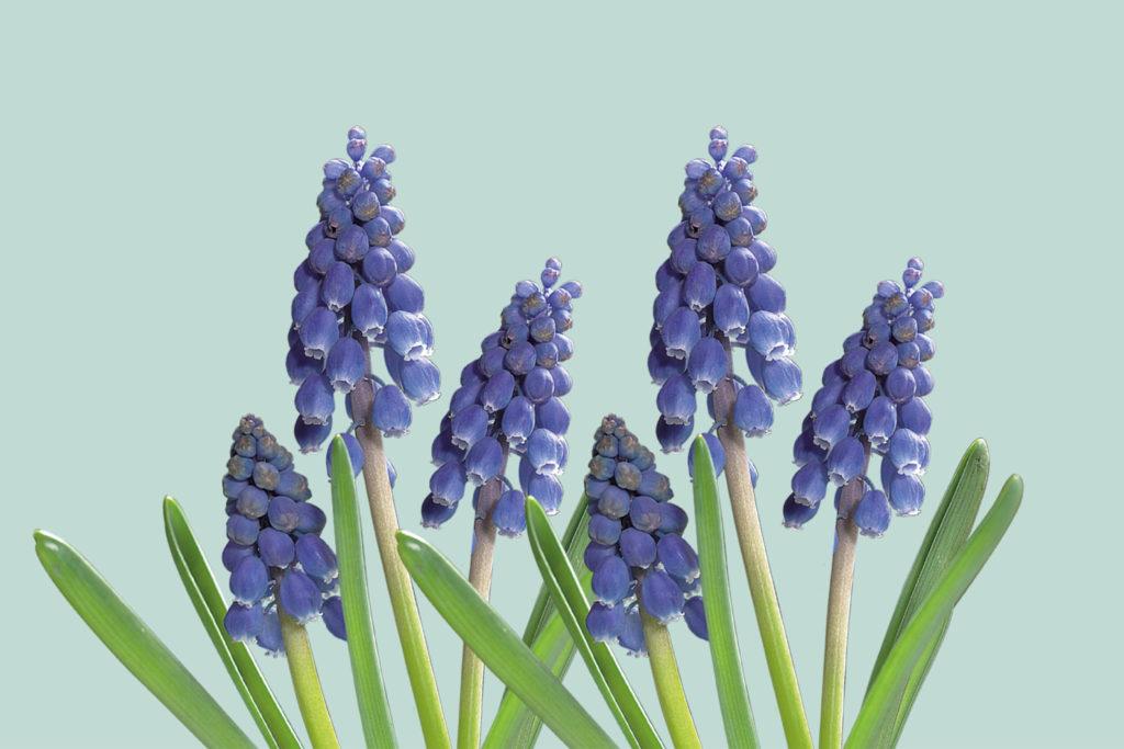 beeld van druifjes enkel jarige bloeiers