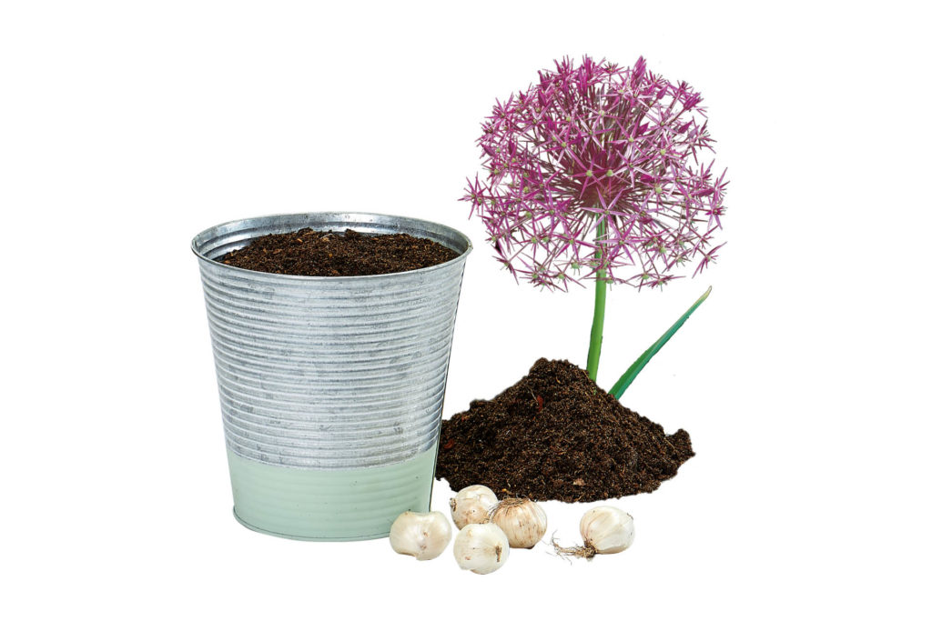 zinken pot paarse allium