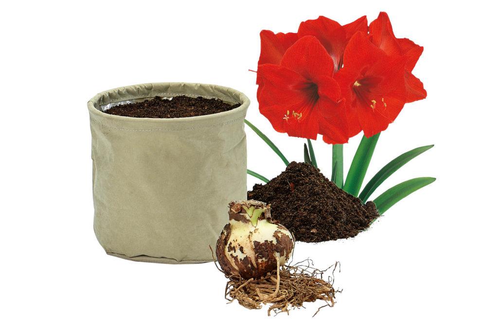 Amaryllis rood plantenzak