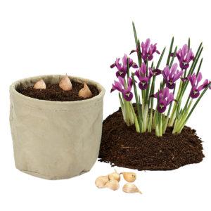 Iris Rejoice in plantenzak